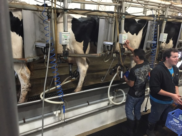 Here are the ladies coming into the milking parlor & getting hooked up.